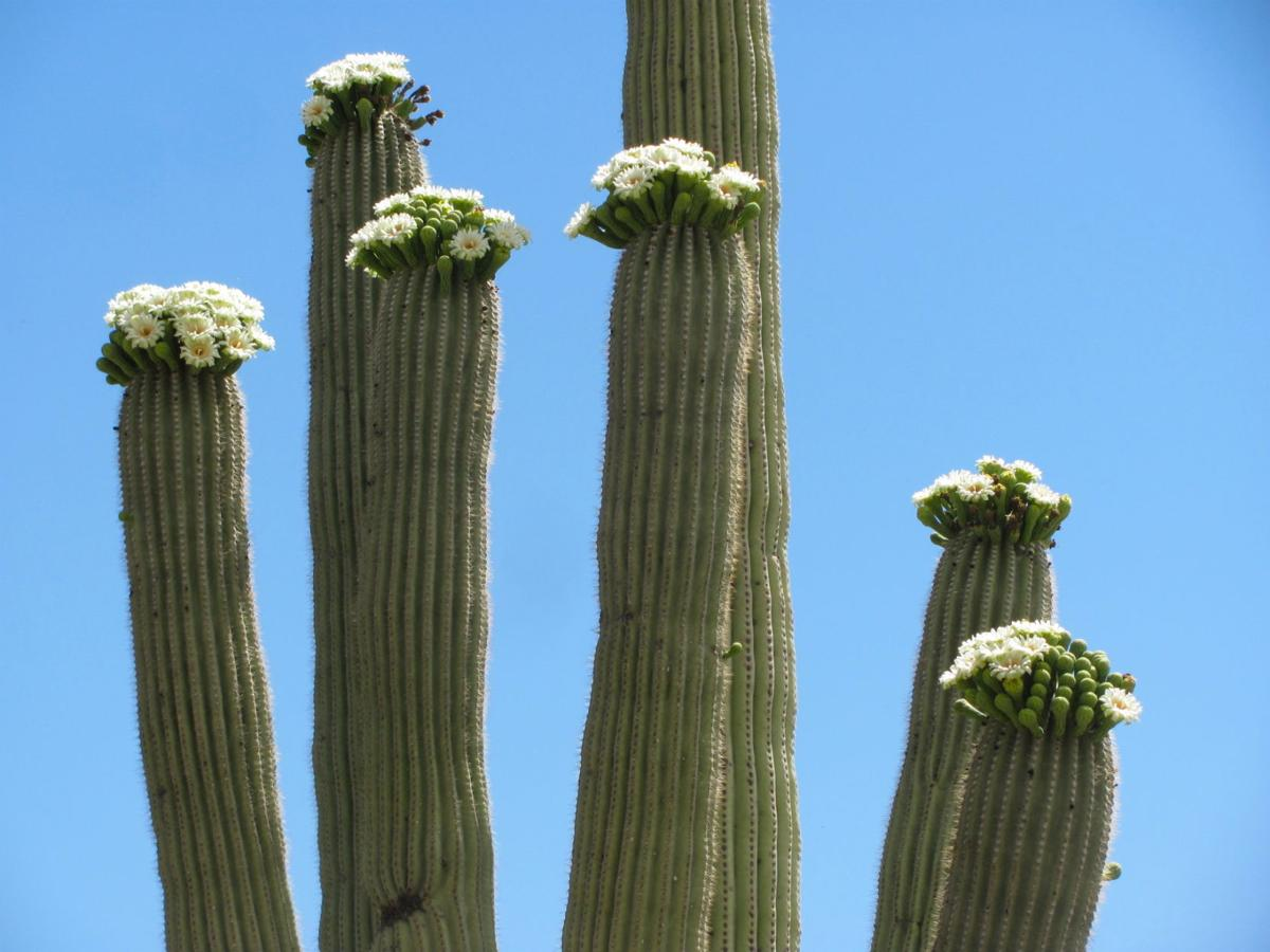 Saguaro Cactus Plants Are Weirdly Awesome – Facts